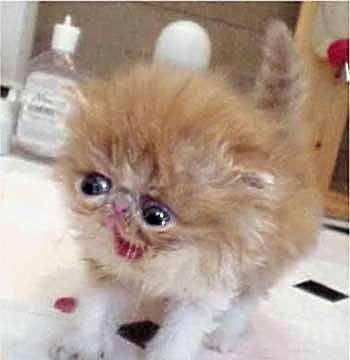 Kitten-Gah