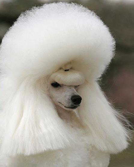 dog-bighair