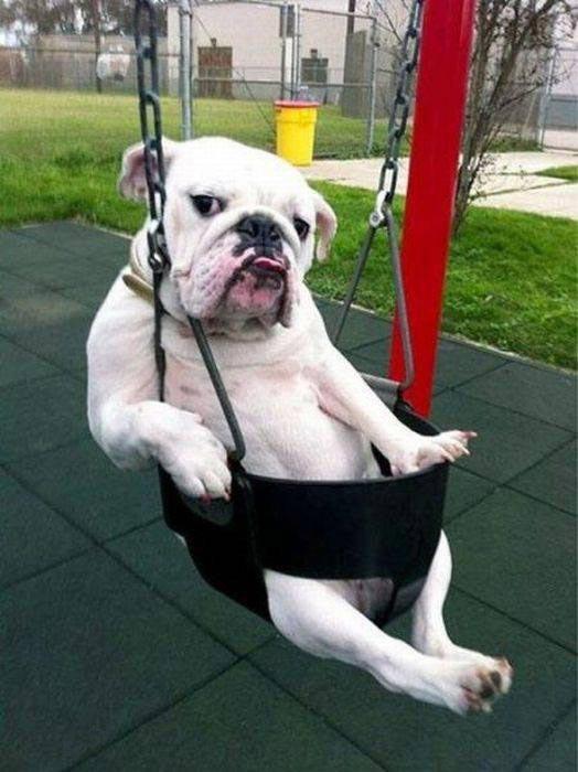 bulldog-babyswing