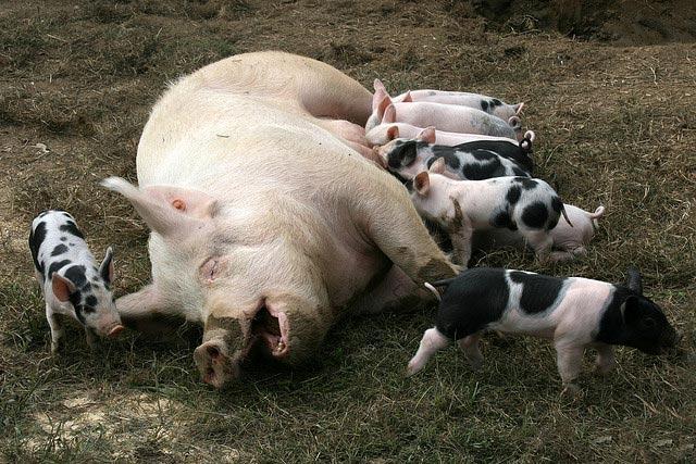 pig-nursing